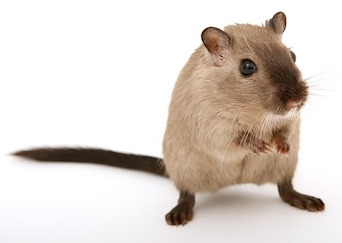 Mouse Yale Investigation