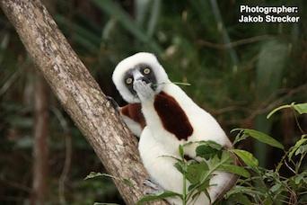 Lemur photo contest