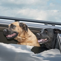 Does Your State Require Dogs to Wear a Seat Belt?