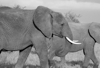 elephant wildlife trafficking