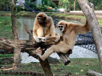 Baby Gibbon Regains Sight After Surgery at Kansas State