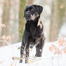 Labrador Retriever Named Top Dog Breed... Again
