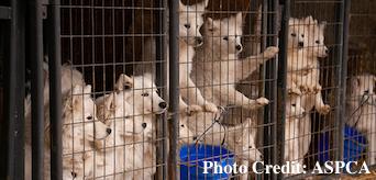 Iowa Puppy Mill ASPCA
